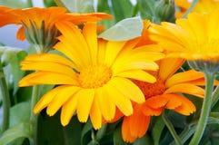 Flor alaranjada Fotografia de Stock Royalty Free
