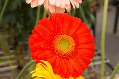 Flor alaranjada Fotografia de Stock