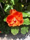 Flor alaranjada imagem de stock
