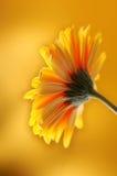 Flor alaranjada amarela do gerber Imagem de Stock Royalty Free
