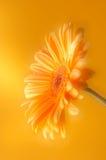 Flor alaranjada amarela do gerbera Fotos de Stock Royalty Free