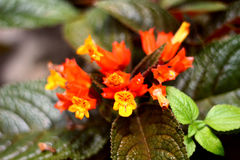 Flor alaranjada amarelada Fotografia de Stock