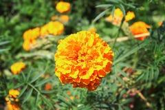 Flor alaranjada bonita grande do cravo-de-defunto que floresce no jardim Flor do verão Imagens de Stock Royalty Free