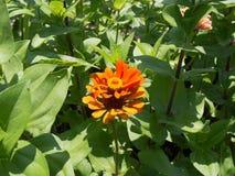 Flor alaranjada brilhante Foto de Stock Royalty Free