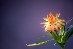 Flor alaranjada brilhante em um fundo roxo fotografia de stock royalty free