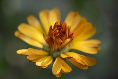 Flor alaranjada com fundo borrado Fotos de Stock Royalty Free