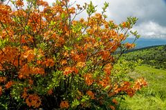Flor alaranjada da azálea da chama nas montanhas de Grayson Highlands imagem de stock