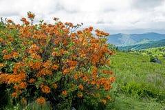 Flor alaranjada da azálea da chama nas montanhas de Grayson Highlands imagem de stock royalty free