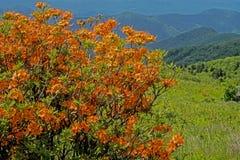 Flor alaranjada da azálea da chama nas montanhas de Grayson Highlands fotografia de stock royalty free