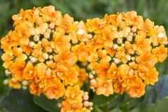 Flor alaranjada da cor Imagem de Stock Royalty Free