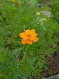 Flor alaranjada da cor Imagens de Stock