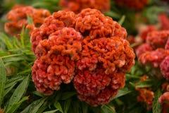 Flor alaranjada da crista Fotos de Stock Royalty Free