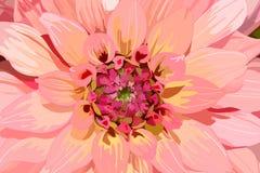 Flor alaranjada da dália Imagens de Stock