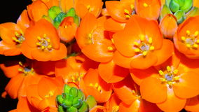 Flor alaranjada da estrela Foto de Stock Royalty Free