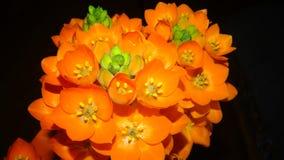 Flor alaranjada da estrela Fotografia de Stock Royalty Free