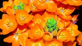 Flor alaranjada da estrela Fotos de Stock Royalty Free