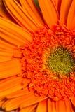 flor alaranjada da margarida do gerber na flor fotografia de stock royalty free