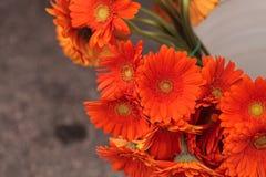 Flor alaranjada da margarida do jamesonii do Gerbera Fotografia de Stock Royalty Free