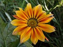 Flor alaranjada da mola foto de stock