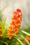 Flor alaranjada da orquídea de Vanda Fotografia de Stock Royalty Free