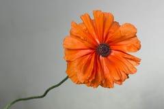 Flor alaranjada da papoila Fotografia de Stock
