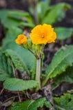 Flor alaranjada da prímula Imagens de Stock Royalty Free