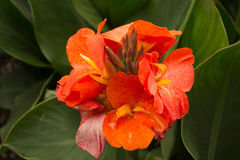 Flor alaranjada de Canna imagem de stock royalty free