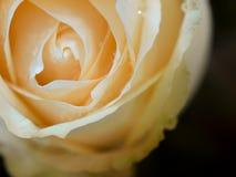 Flor alaranjada de Rosa Imagem de Stock Royalty Free