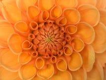 Flor alaranjada - dália Imagem de Stock Royalty Free