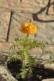 Flor alaranjada do açafrão Fotografia de Stock Royalty Free