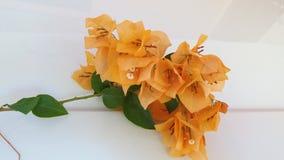 Flor alaranjada do beautifel da cor da buganvília fotografia de stock