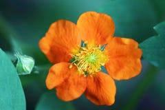 Flor alaranjada do coccineum do Geum Foto de Stock Royalty Free
