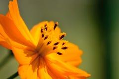 Flor alaranjada do coreopsis Fotos de Stock