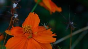 Flor alaranjada do cosmos filme