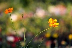 Flor alaranjada do cosmos Imagens de Stock Royalty Free