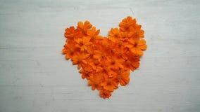 Flor alaranjada do cosmos da forma do cora??o vídeos de arquivo