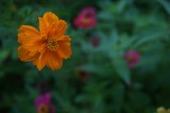 Flor alaranjada do cosmos Fotografia de Bokeh fotos de stock