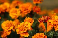 Flor alaranjada do cravo-de-defunto Fotos de Stock