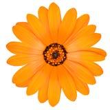 Flor alaranjada do cravo-de-defunto de potenciômetro na flor completa isolada Fotos de Stock