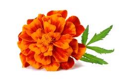 Flor alaranjada do cravo-de-defunto, ereta de Tagetes, cravo-de-defunto mexicano, cravo-de-defunto asteca, cravo-de-defunto afric foto de stock