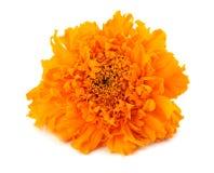 Flor alaranjada do cravo-de-defunto, ereta de Tagetes, cravo-de-defunto mexicano, cravo-de-defunto asteca, cravo-de-defunto afric foto de stock royalty free