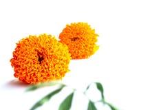 Flor alaranjada do cravo-de-defunto fotografia de stock