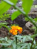 Flor alaranjada do crisântemo foto de stock royalty free