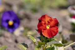 Flor alaranjada do fim da viola do amor perfeito acima do crescimento em uma cama de flor imagem de stock royalty free