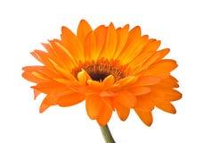 Flor alaranjada do gerber fotografia de stock