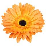 Flor alaranjada do gerber isolada no branco Foto de Stock