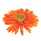 Flor alaranjada do gerbera Imagem de Stock Royalty Free