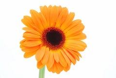 Flor alaranjada do Gerbera fotos de stock