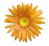 A flor alaranjada do gerbera no branco isolou o fundo com trajeto de grampeamento closeup Nenhumas sombras Para o projeto Imagem de Stock Royalty Free