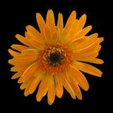 Flor alaranjada do gerbera no fundo preto Fotografia de Stock Royalty Free